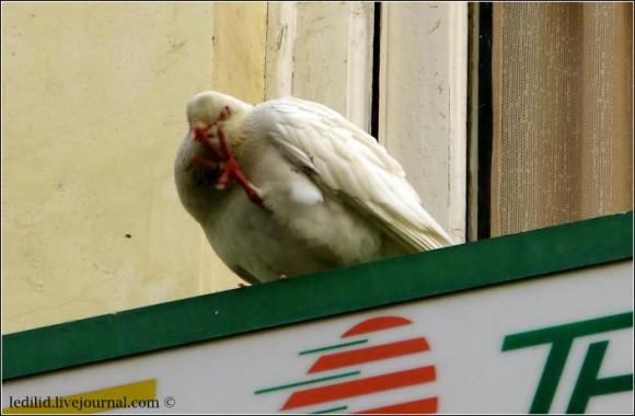 """Кордовський голуб каже нам """"до побачення"""" :)"""