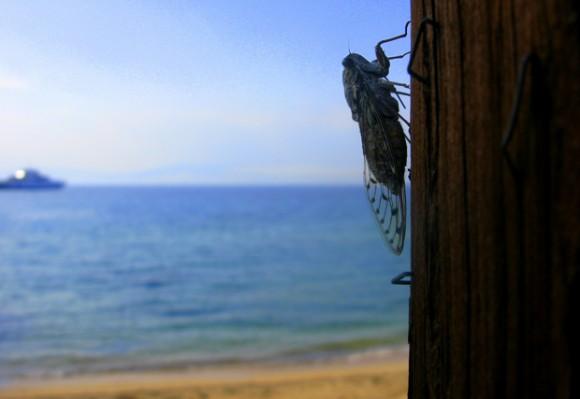 "Цикади грецького отрова Тасос. Фото ""Смак подорожника"""